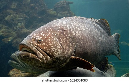 The Giant grouper, also known as the Brindlebass, Brown spot cod or Bumblebee grouper. Selective focus.