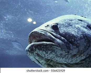 Giant grouper, Queensland grouper, fish in aquarium tank
