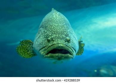 Giant grouper or Queensland grouper in tank.