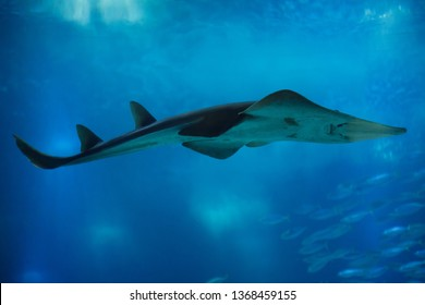 Giant guitarfish (Rhynchobatus djiddensis), also known as the whitespotted wedgefish.
