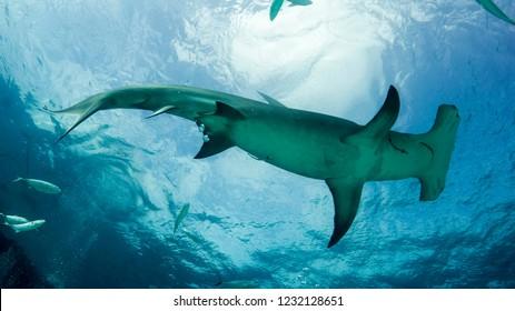 Giant hammerhead shark in the backlight near the surface. Bimini. Bahamas.