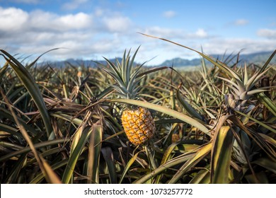 Giant Hawaiian pineapple farms in the countryside on the island of Oahu, Hawaii