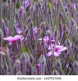 Giant Herb Robert (Geranium Maderense)