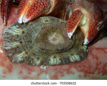 Giant Hermit Crab with an Anemone on its Shell Key West Florida