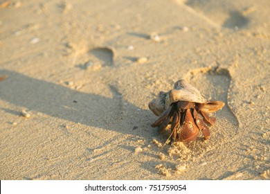 Giant Hermit Crab on Beach