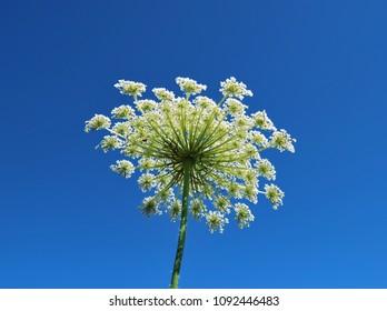 Giant Hogweed,  a giant hogweed against blue sky, Heracleum manteggazzianum