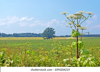 Giant hogweed and a rural countryside scene with oak tree and meadow in background