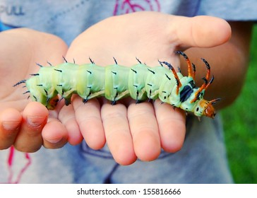 The giant horned caterpillar of the Royal Walnut Moth, Regal Moth or Hickory Horned Devil, Citheronia regalis in a boy's hands