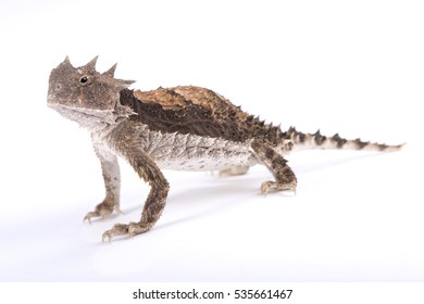 Giant horned lizard, Phrynosoma asio