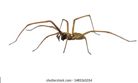 Giant house spider (Eratigena atrica) side view of arachnid with long hairy legs isolated on white background