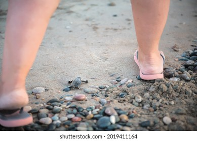 Giant human feet and tiny sea turtle hatchling on the beach. Female activist guards sea turtle baby on its journey to the sea