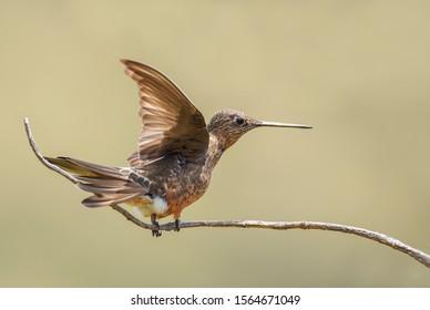 Giant Hummingbird - Patagona gigas, special large hummingbird from Andean slopes of South America, Tambo Condor, Ecuador.