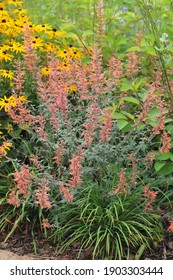 Giant hyssop (Agastache barberi) Firebird with grey-green leaves and orange flowers blooms in a garden in July