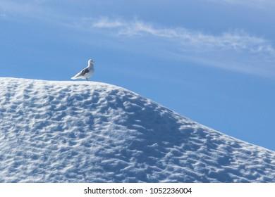Giant Icebergs of Illulisat, Greenland, floating on water, a popular cruise destination.Small bird on the iceberg. non breeding adult