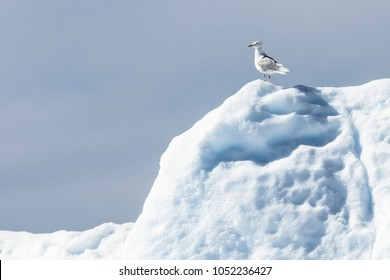 Giant Icebergs of Illulisat, Greenland, floating on water, a popular cruise destination. Small bird on the iceberg. non breeding adult