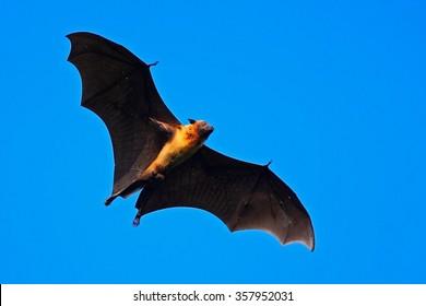 Giant Indian Fruit Bat, Pteropus giganteus, on the clear blue sky, flying mouse in the nature habitat, Yala National Park, Sri Lanka.