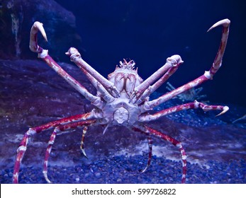 Giant Japanese spider crab, Macrocheira kaempferi, seen underwater in aggressive pose