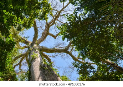 Giant Kapok tree in the Amazon rainforest, Tambopata National Reserve, Peru