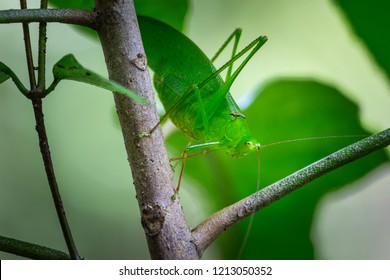 giant katydid on tree with natural background.