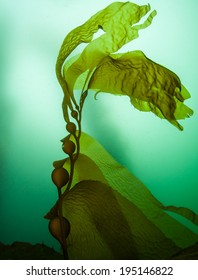 Giant kelp (Macrocystis pyrifera) grows in extensive forests off the coast of northern California. It is a fast growing species of large brown algae that provides habitat for many temperate organisms.