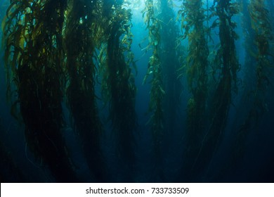 Giant kelp (Macrocystis pyrifera) grows in a dense, underwater forest near the Channel Islands in California. This area is part of a National Park and is teeming with thousands of marine species.