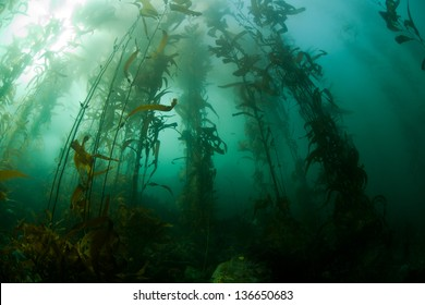 Giant kelp (Macrocystis pyrifera) is a species of large brown algae that grows along the Pacific coast of the United States and southward,