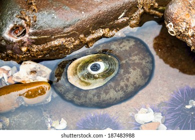 Giant Keyhole Limpet in Tide Pool