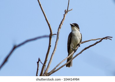 Tyrannus tyrannus images stock photos vectors shutterstock giant kingbird tyrannus cubensis an endangered species now found only in cuba thecheapjerseys Gallery