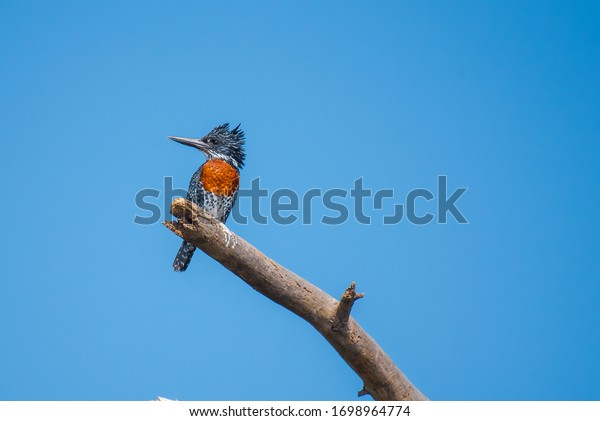 The giant kingfisher, Lake Naivasha Kenya
