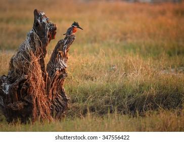 Giant kingfisher Megaceryle maxima in its natural environment, during morning fish hunt. Chobe river,Botswana.