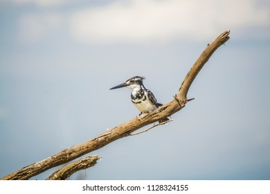 giant kingfisher on a tree