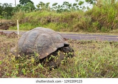 A giant land tortoise next to the road in the highlands of isla Santa Cruz in the Galapagos