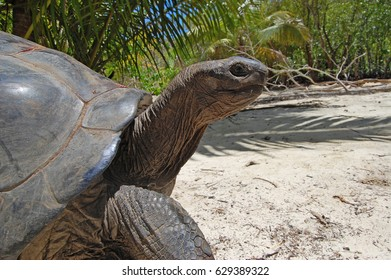 Giant land tortoise walking on a wild beach macro