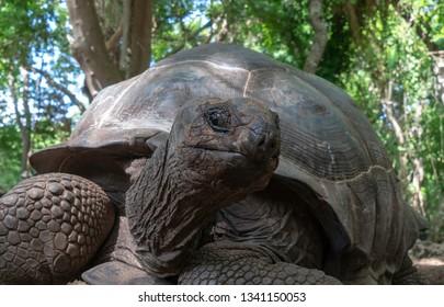 Giant Land Turtle on Prison Island, Tanzania
