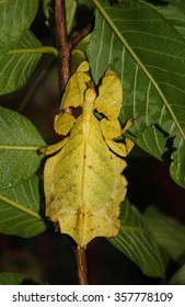 Giant Leaf Insects of South East Asia