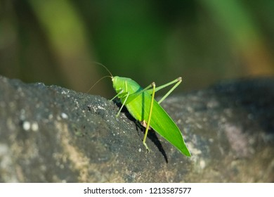 giant leaf katydid