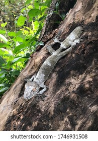 Giant leaf tailed gecko on tree. Leaf-tailed geckos are nocturnal, forest-dwelling lizards endemic to Madagascar island.  Their bodies are long and flattened, and they are known for leaf-like tails.