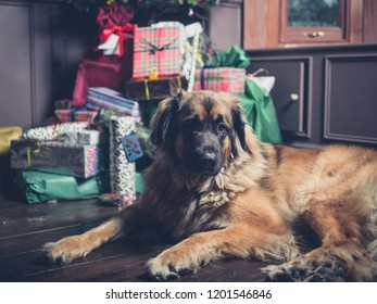 A giant leonberger dog is guarding the christmas tree and presents