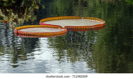 Giant Lily Pads on Pond