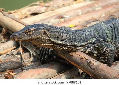 giant lizard
