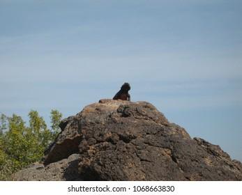 Giant Lizard on rock