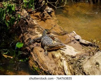 Giant lizard water