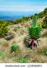 Giant Lobelia (Lobelia deckenii) in Mount Kenya National Park