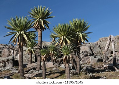 The Giant lobelia (Lobelia rhynchopetalum) is a plant endemic to Ethiopia. Its habitat is the Afroalpine climate of the Bale Mountains National Park. Sanetti Plateau.