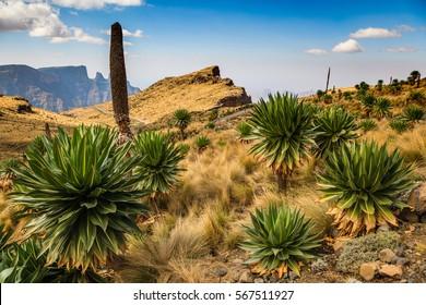 Giant Lobelia - Simien Mountains National Park - UNESCO World Heritage Centre -Ethiopia