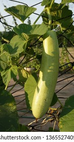 Giant long Gourds