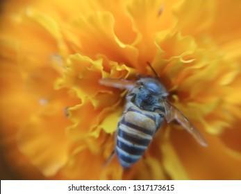 Giant macro honeybee.