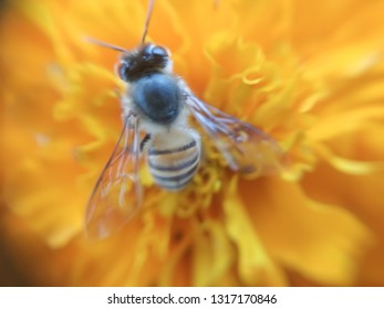 Giant macro honeybee. Bee is like a small insect on leaf-image