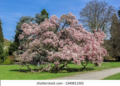 Giant magnolia tree in full blossom on a sunny spring day
