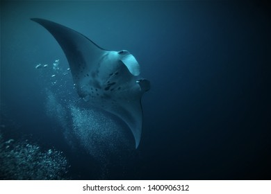 Giant manta, Manta birostris, while swimming in the blue of the Indian Ocean, Maldives